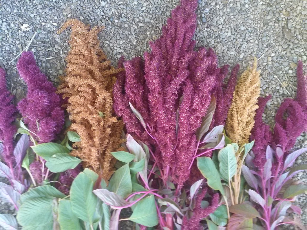 Amaranth, Aztec Mix