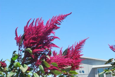 Amaranth, Towering Beauty