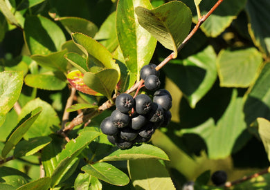 Chokecherry, Black