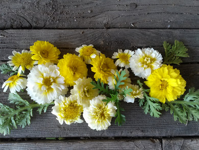 Chrysanthemum, Shungiku Edible