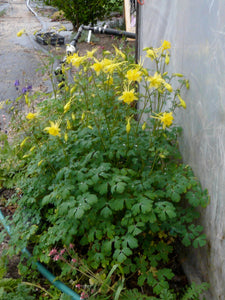 Columbine, Golden Spurred