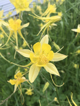 Load image into Gallery viewer, Columbine, Golden Spurred