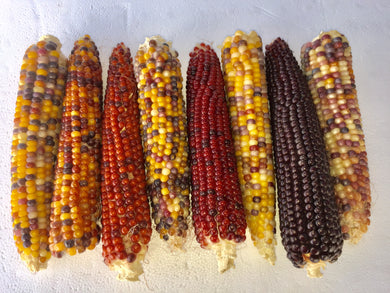Corn, Lofthouse Landrace Pop