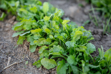 Cress, Broadleaf Garden