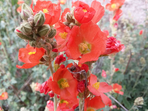 Flower Mix, Great Basin