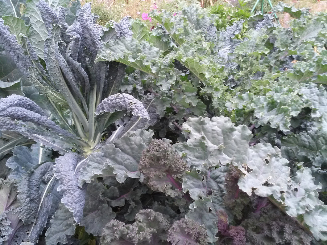 Kale, Cold-Hardy Mix