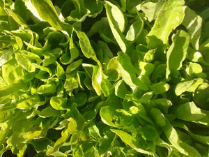 Lettuce, Emerald Oak Leaf