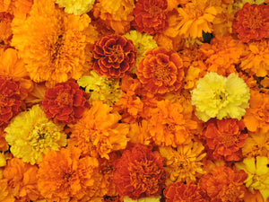 Marigold, Magnificent Mix
