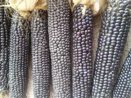 Corn, Hopi Blue