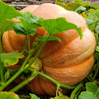 Pumpkin, Dill's Atlantic Giant