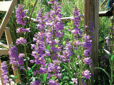 Penstemon, Rocky Mountain