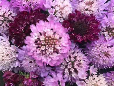 Pincushion Flower, Pretty, Pretty Pinks & Purples