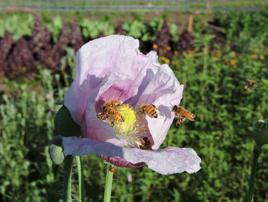 Poppy, Elka White Breadseed