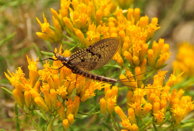 Rabbitbrush, Rubber