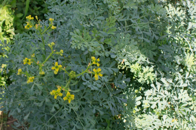 Rue, Herb-of-Grace
