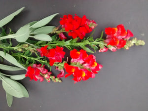 Snapdragon, Red