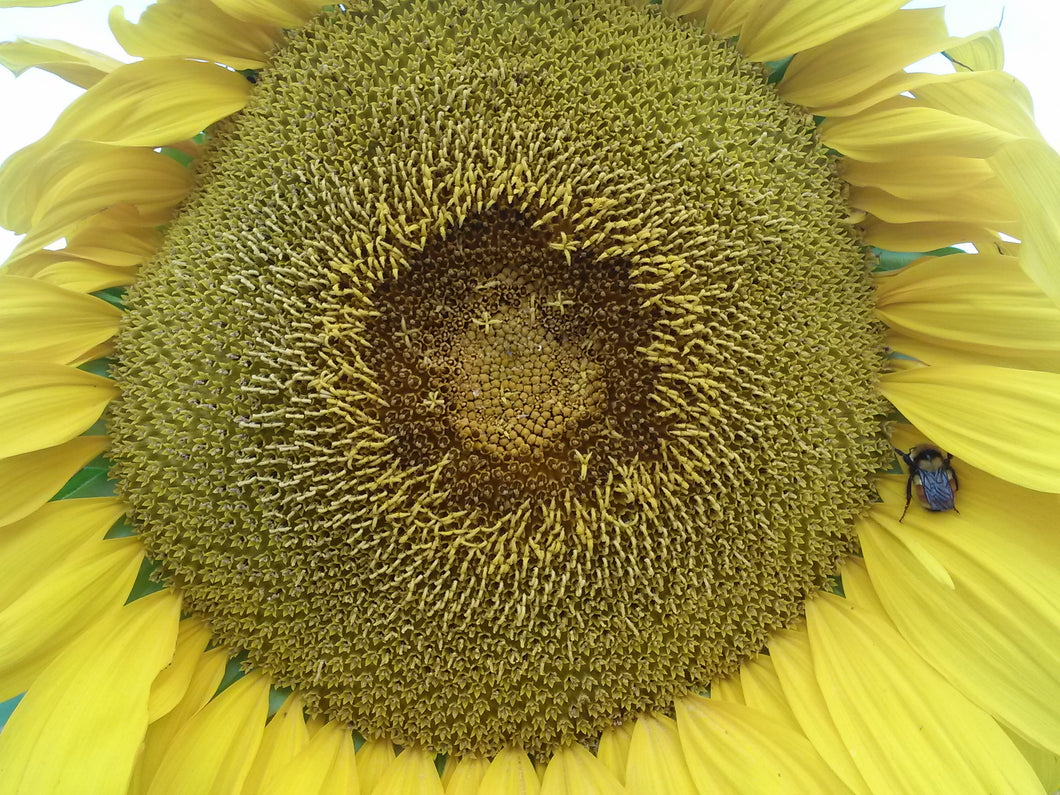 Sunflower, Mammoth Grey Stripe