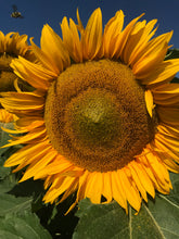 Load image into Gallery viewer, Sunflower, Sunspot