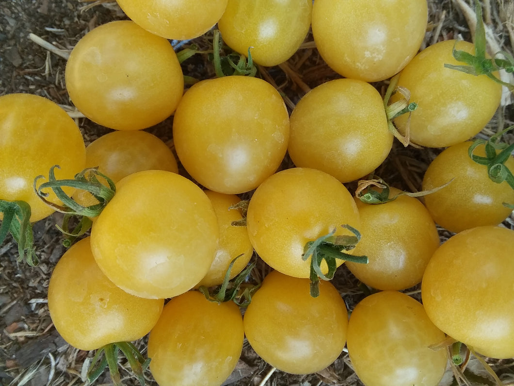 Tomato, Yellow Yummy Volunteer