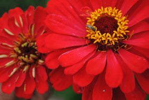 Zinnia, Unearthly Reds