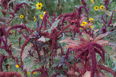 flowering hopi red dye amaranth