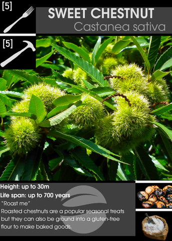 Sweet chestnut castanea sativa card by haqua with description and icons