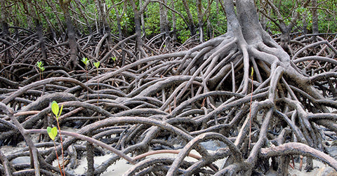 Mangrove forest, a tangle of tree roots