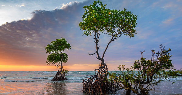 Mangrove growing in salty sea water with a sunset background