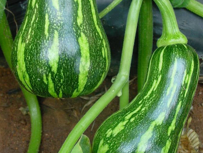 Barbara Butternut - Tropical Squash Seeds (Prices From)
