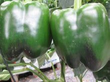 CHEROKEE* F1 HYBRID SWEET PEPPER