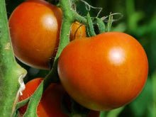 Commander Determinate - Salad Tomato Seeds (Prices From)