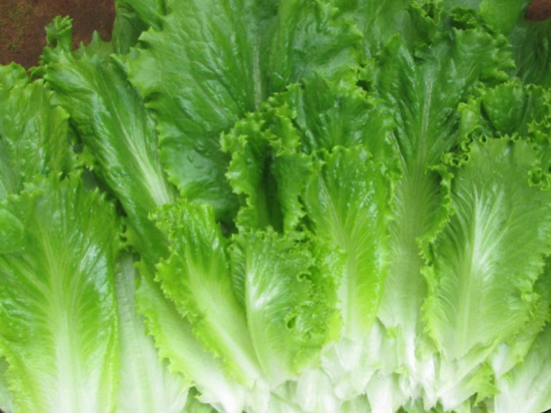 DARK CRUNCH* GREEN BATAVIA LETTUCE (1000 seeds)
