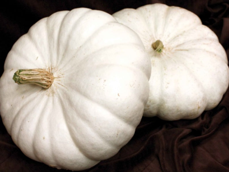 FLAT WHITE BOER FORD PUMPKIN