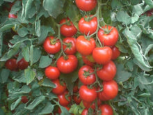 Galaxy Indeterminate - Salad Tomato Seeds (Prices From)