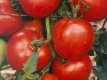 JAMPAKT F1 HYBRID DETERMINATE SALAD TOMATO