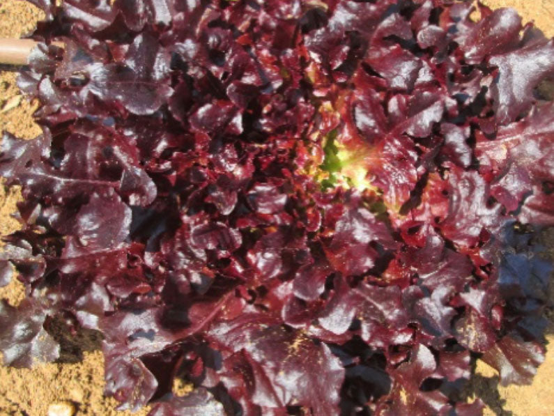 Maira Red Oak Lettuce Seeds 100g