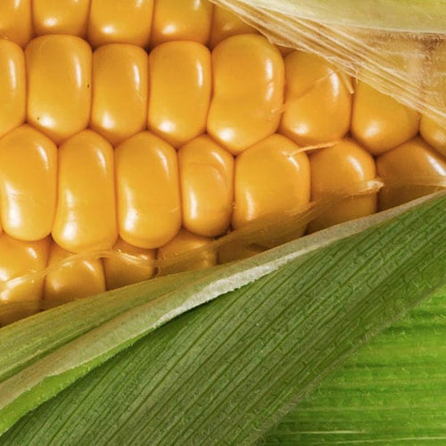 Yellow Maize Seeds (Prices from)