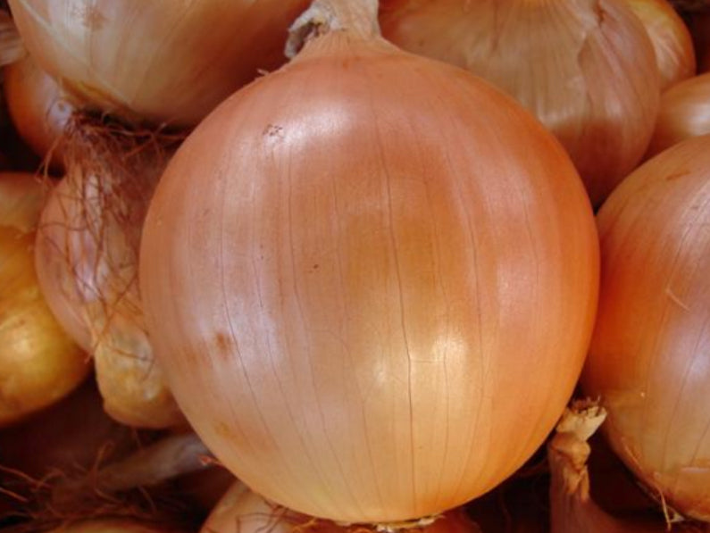SHINJU F1 HYBRID SHORT DAY BROWN ONION