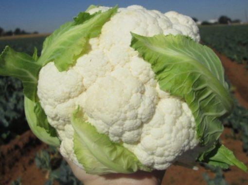Twister Medium Early Cauliflower Seeds (Prices From)