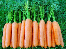 CARVORA F1 HYBRID CARROT (Prices From)