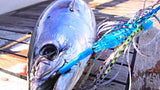 Skipjack Tuna landed on the back of a trolling boat.