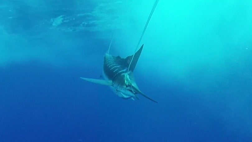 Marlin hooked under water with a Scent Blazer trolling lure.