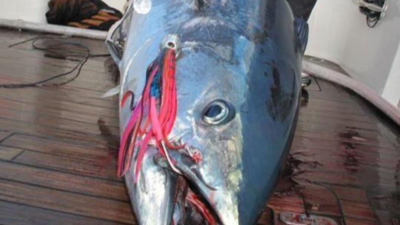 Southern Bluefin Tuna Lure.