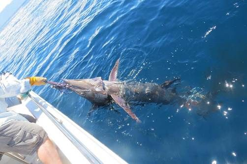 Roger O'Sullivan catches Marlin on scented lure.