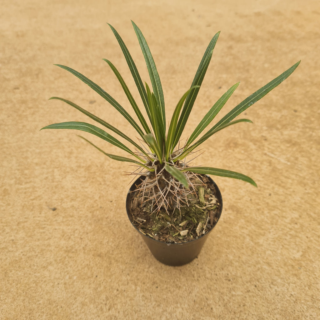 Pachypodium 7.5cm for sale at Rusty Rose Nursery Online
