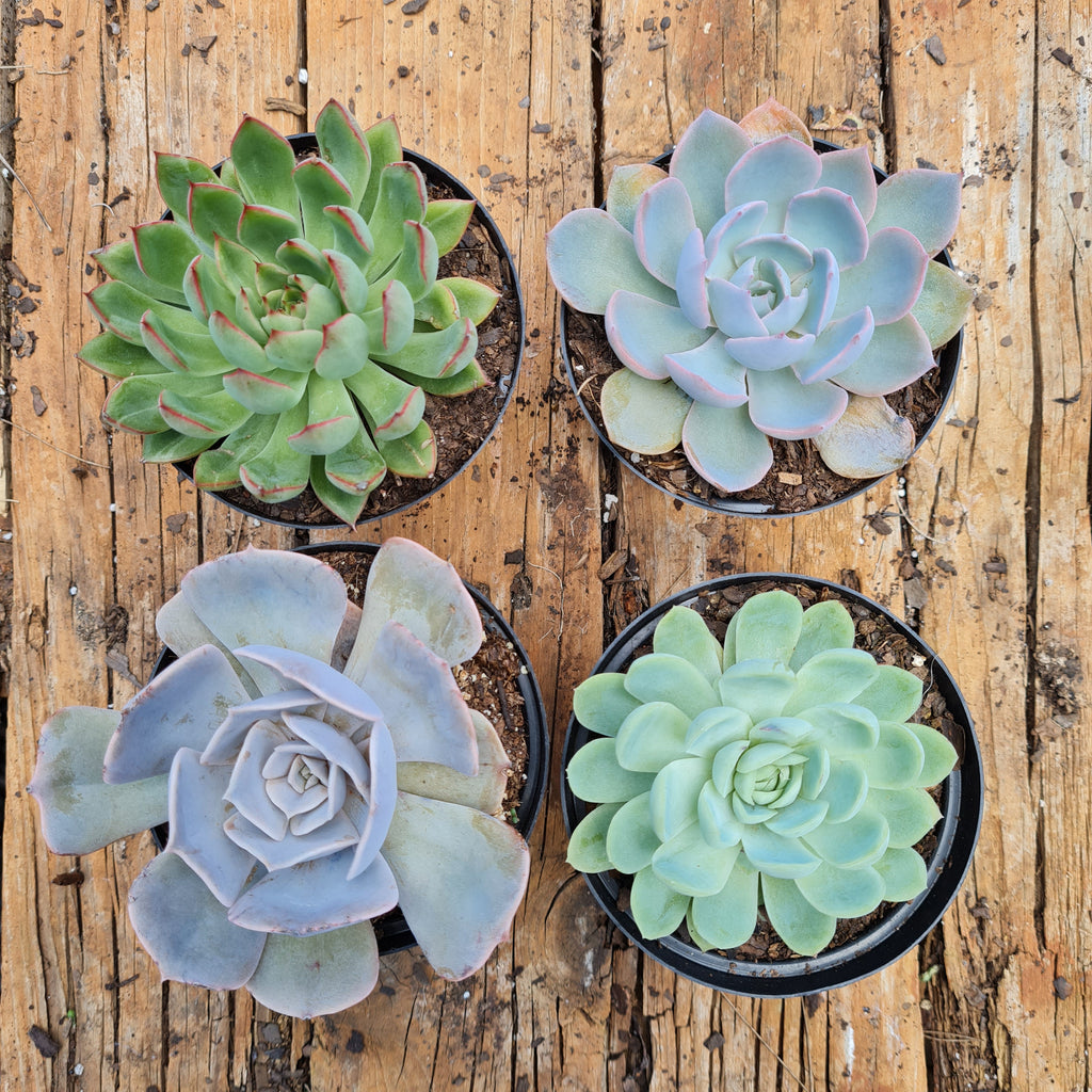 Variety 4 pack for sale at Rusty Rose Nursery Online