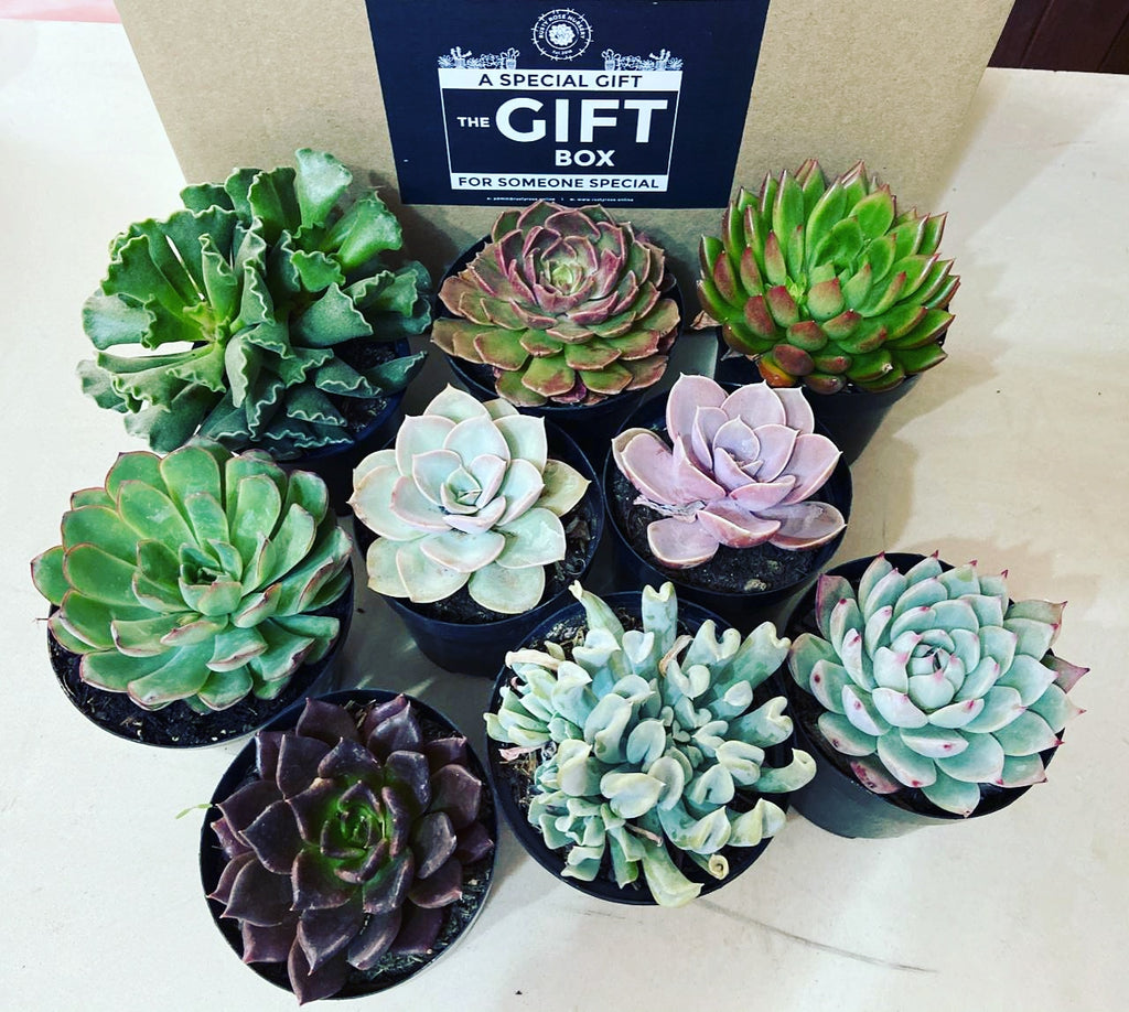 Special Person Gift Box (9) random succulents for sale at Rusty Rose Nursery Online