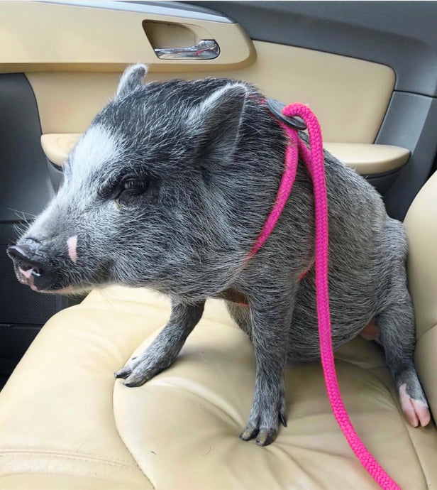Mini Pig Harness/Lead in one -Escape Proof -Pink