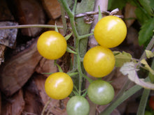 "Laden Sie das Bild in den Galerie-Viewer, -17- Freilandtomate ""Golden Currant"""