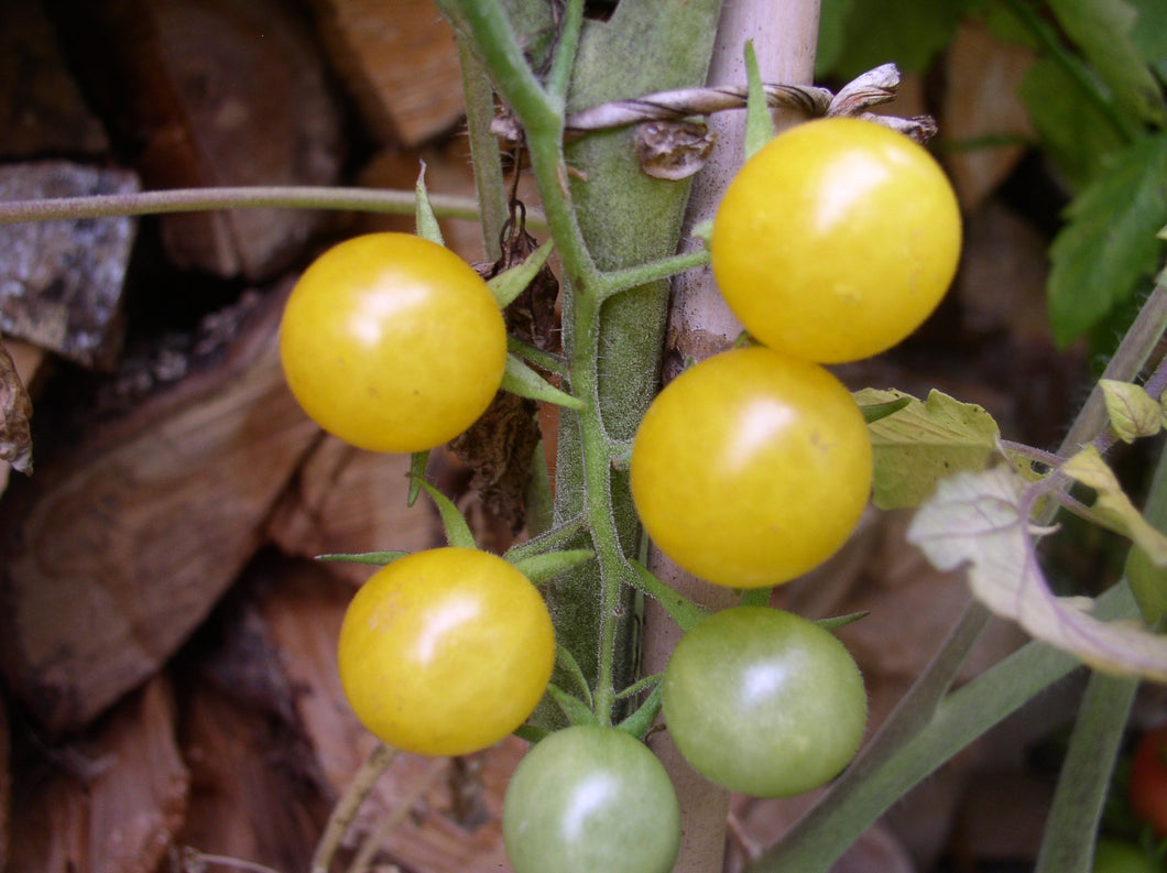 "-17- Freilandtomate ""Golden Currant"""